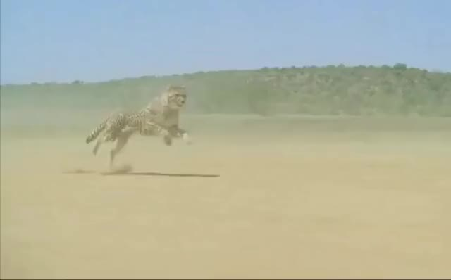 Watch and share Cheetah Stabilized GIFs by hach on Gfycat