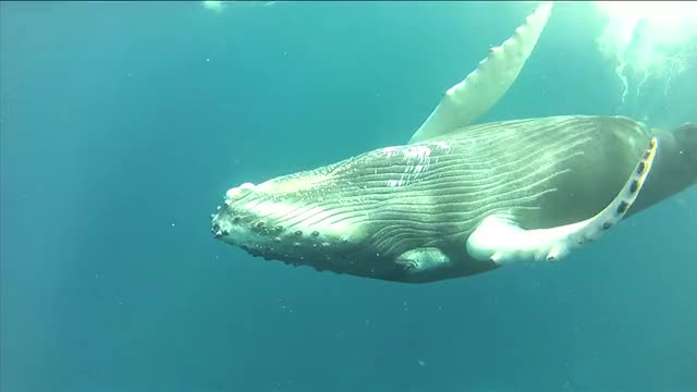 Watch and share B-Roll: Humpback Whales And Behavior GIFs on Gfycat