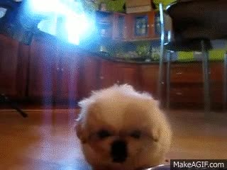 Watch and share Biscuit, My Pekingese Puppy, Eating On The First Day Of Adoption! :) GIFs on Gfycat