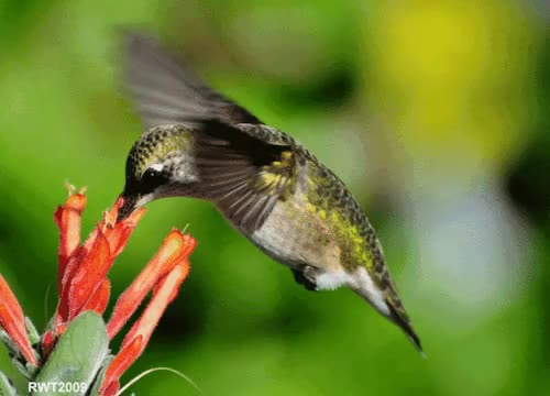 Watch this doesn't go very well with my recent post.. but hummingb GIF on Gfycat. Discover more beautiful, earth, flower, happiness, hummingbird GIFs on Gfycat