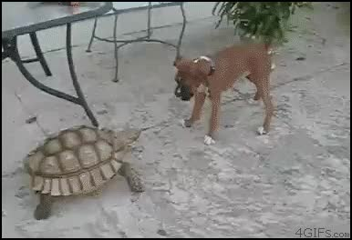Watch turtle GIF on Gfycat. Discover more related GIFs on Gfycat