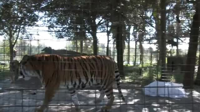 Watch Angry Tiger VS Angry Lion GIF on Gfycat. Discover more Florida, Tampa, Tigers, VS, cat, conservation, kittens, lions, mean, rehabilitation, rescue, roar GIFs on Gfycat