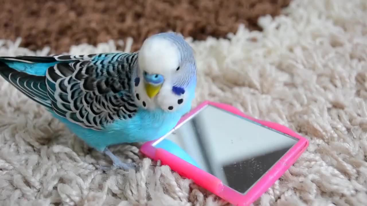 Budgie, Budgie singing to mirror | Parakeet Sounds GIFs
