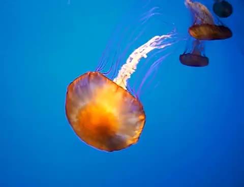 Watch jellyfish GIF on Gfycat. Discover more jellyfish GIFs on Gfycat