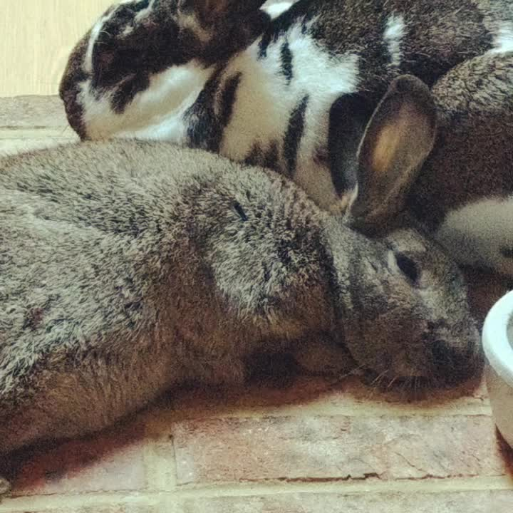 animal, bunny, cute, Sleepy bunnies GIFs