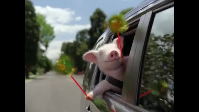 Watch Maxwell The Pig GIF on Gfycat. Discover more 15, Car, Piggy, best, carload, comedy, cute, geico, home, insurance, laughs, little, max, maxwell, pig, questions, spoof, tv, vote, wee GIFs on Gfycat