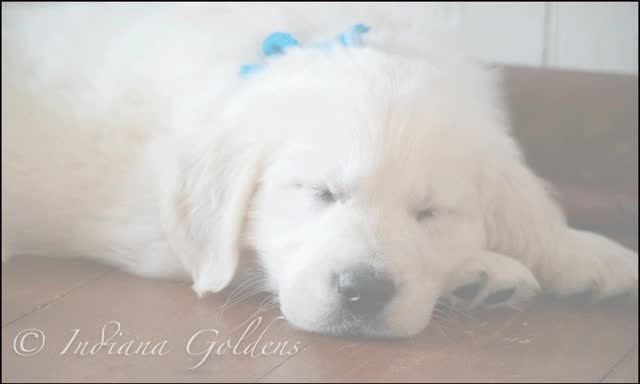Watch and share White-Golden-retriever GIFs by Indiana Goldens on Gfycat