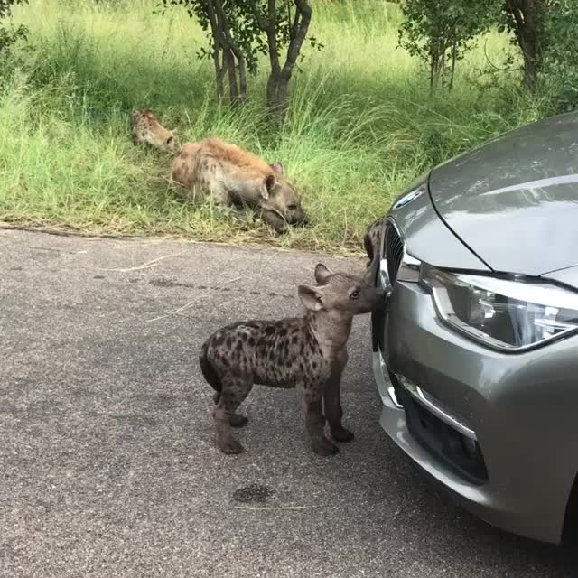 Watch baby hyenas GIF by PM_ME_STEAM_K3YS (@pmmesteamk3ys) on Gfycat. Discover more related GIFs on Gfycat