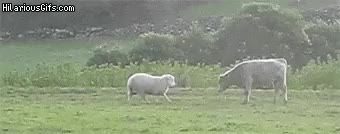 Watch and share Sheep Teaches Young Bull To Head Butt GIFs on Gfycat