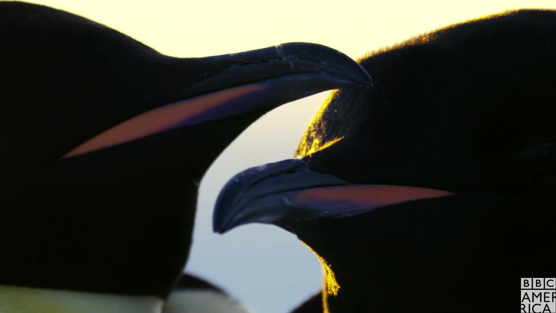 animal, animals, awww, bbc america, bbc america dynasties, bbc america: dynasties, dynasties, emperor penguin, emperor penguins, hug, hugs, love, penguin, penguins, Dynasties Penguin Cuddle GIFs