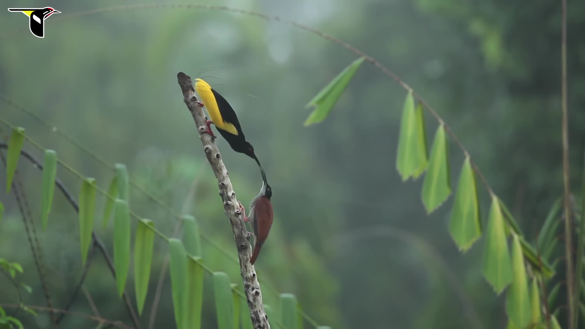 awwducational, loseit, naturegifs, Twelve-wired Bird-of-Paradise GIFs
