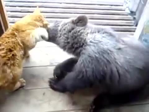 bear, cub, hitmanimals, Cat slapping bear GIFs