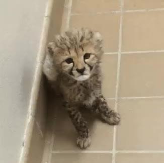 Watch and share Cheetah Lovers GIFs and Cheetah Love GIFs on Gfycat