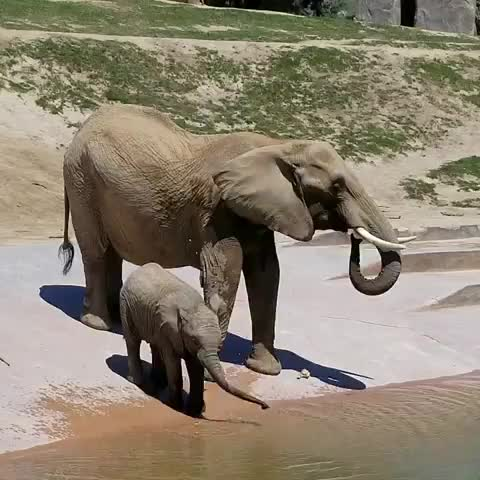 Watch this elephants GIF by vani  (@uncommonvanilla) on Gfycat. Discover more babyelephants, elephants, mkhaya, poolparty, safari park elephants, sdzsafaripark, tinytrunks GIFs on Gfycat