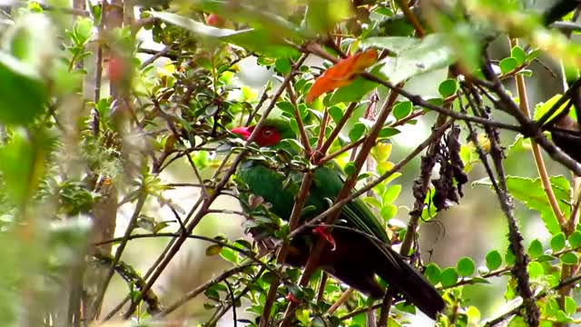 Watch and share Grass-green Tanager, Chlorornis Riefferii, Eastern Andes Birding (Chingaza), Bogota Birding GIFs by likkaon on Gfycat