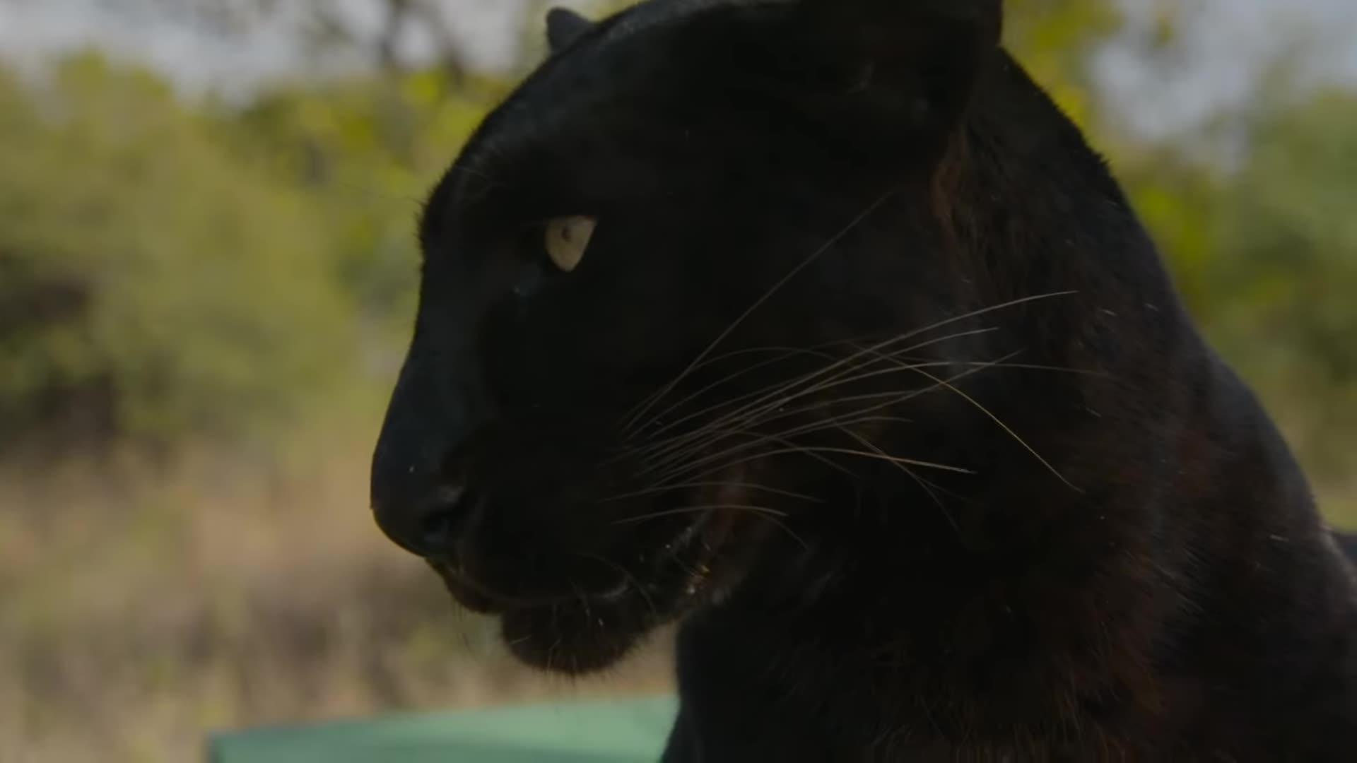 Meet The Leopards! | The Lion Whisperer GIFs