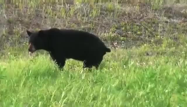 Watch and share Black Bear Pooping In The Woods In HD GIFs on Gfycat