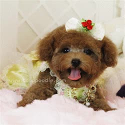 Watch and share Advantages About Owning A Teacup Poodle GIFs on Gfycat