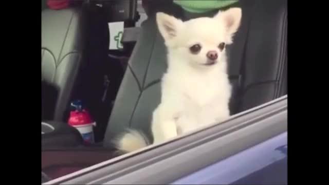 Watch Sleepy chihuahuas in car GIF on Gfycat. Discover more Car, chihuauas, sleep GIFs on Gfycat