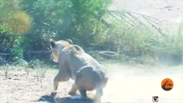Watch and share Lioness Intercepts An Impala GIFs by Pardusco on Gfycat