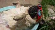 Watch and share Doug The Pug GIFs on Gfycat
