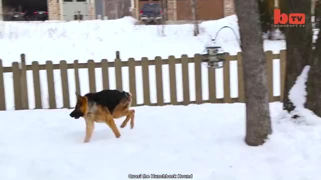 Quasi The Hunchback Hound