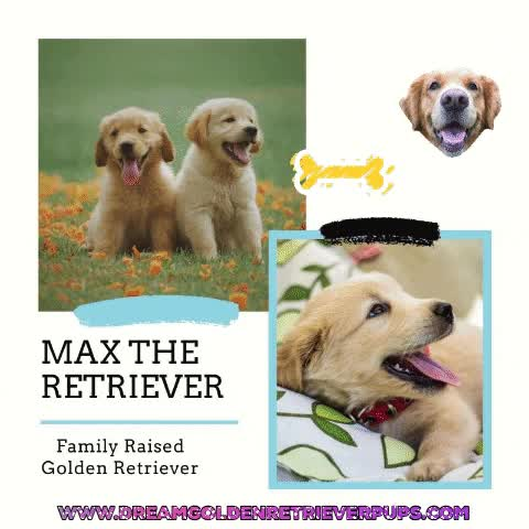 Watch and share Golden Retriever GIFs and Dog GIFs by Dream Golden on Gfycat