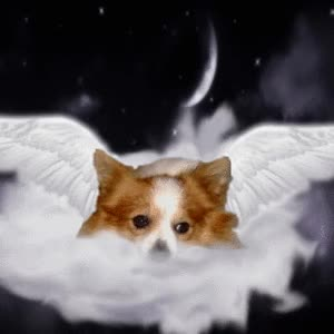 Watch Picture of Pappi *Angel in Heaven*, a male Papillon (and Phalene) GIF on Gfycat. Discover more related GIFs on Gfycat