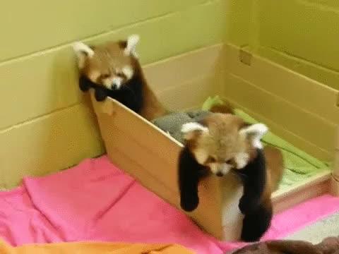red panda, post red panda babies high five qTe GIFs
