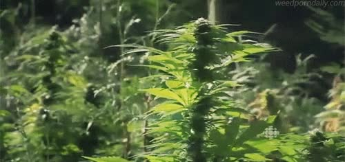 Watch CBC - Canadian Cannabis - outdoor plants GIF by WeedPornDaily (@weedporndaily) on Gfycat. Discover more 420, buds, cannabis, cbc, ganja, green, herb, kush, marijuana, mary jane, medical marijuana, mmj, pot, stoner, television, tv, weed GIFs on Gfycat