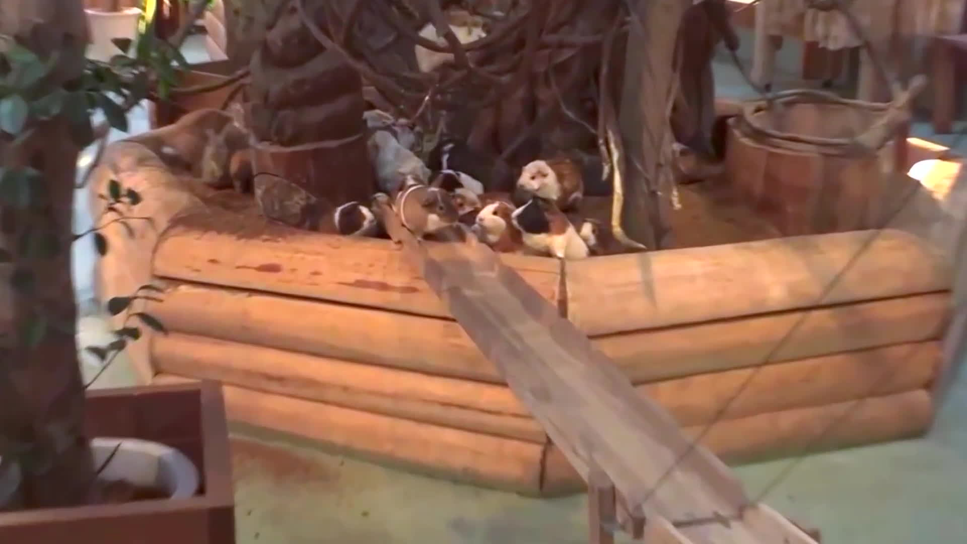aww, guinea pig (domesticated animal), zoology (field of study), Guinea Pig Bridge at the Nagasaki Bio Park - song by Parry Gripp GIFs