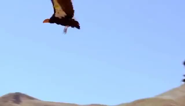 Watch and share California Condors GIFs on Gfycat