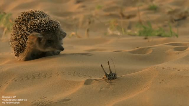 Watch Hedgehogs are more metal than I imagined GIF on Gfycat. Discover more related GIFs on Gfycat