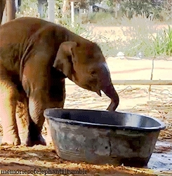 Asian Elephant, Baby Elephant, Bathing, Eating, Elephant, Elephant: Anda, Elephants, Gifs: Mine, I Love Her, I Love Them ALL, Infant Elephant, Little Angel, Mine, My Edit, She's SO PRECIOUS, Surin Project, Thailand, Gentle Giants GIFs