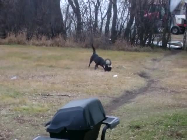 Pets & Animals, Dog finds a skunk GIFs