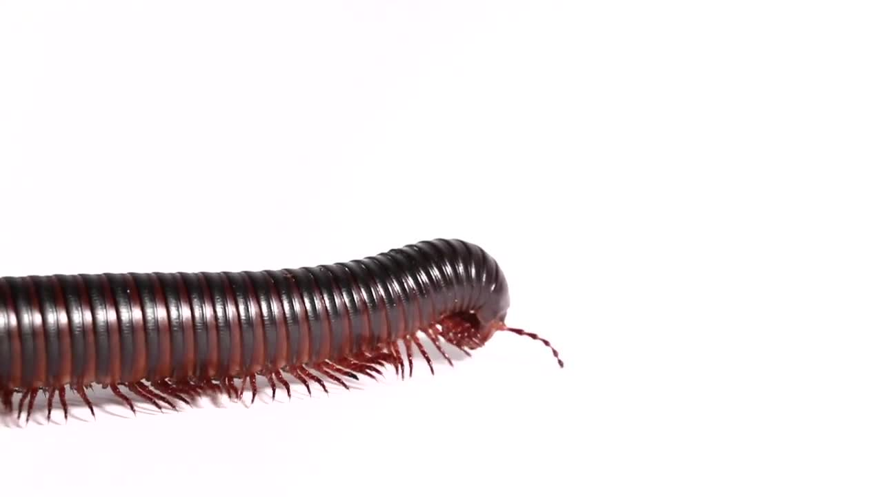 bug, creepy, iMovie, insect, legs, macro, millipede, photography, videography, weird, Giant African Millipede, walking across your screen! GIFs
