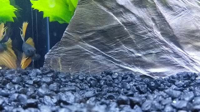 Watch and share Betta GIFs by floopflarp on Gfycat