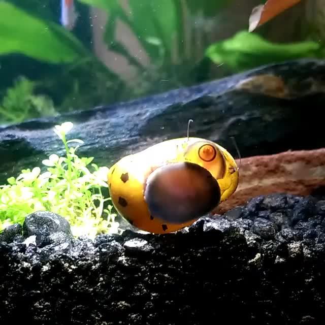 Nerite snail doing its job when all of a sudden... SHRIMP! (reddit)