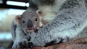 Watch and share Australian Wildlife GIFs and Marsupials GIFs on Gfycat