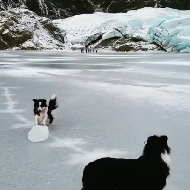 Watch and share Border Collies Playing In Alaska. GIFs on Gfycat