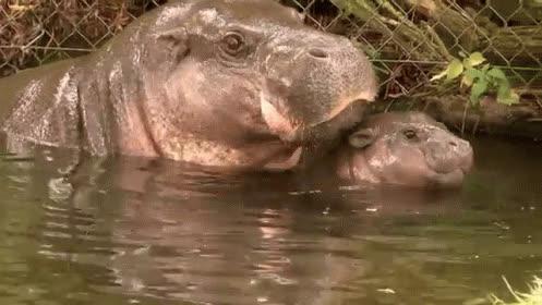 hippos GIFs