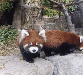 red panda, scared red panda GIFs
