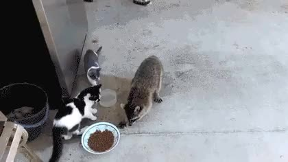Watch and share Raccoon Sex GIFs on Gfycat