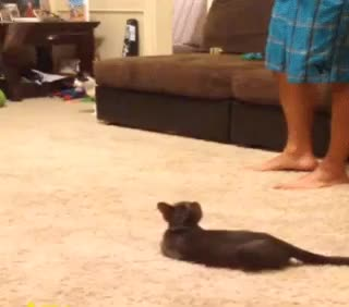 Watch Jumpy Kitty. The Voat Goat GIF on Gfycat. Discover more cat, funny, voat GIFs on Gfycat