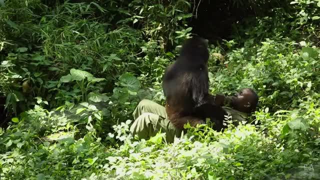 Watch and share 3690581438001 4415031172001 VirungaAbsoluteFinal-v1 GIFs on Gfycat