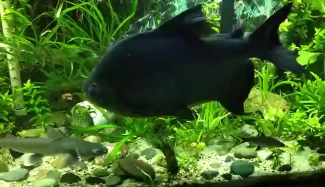 Watch and share The Pacu Frank, Eating A Brazil Nut. Take Two GIFs on Gfycat