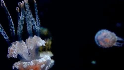 Watch JellyFish GIF on Gfycat. Discover more animal, breezzilla, cute, cute animal, jellyfish, just keep swimming, swiming GIFs on Gfycat