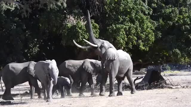 Watch and share Elephant Rise On Hind Legs ( 480 X 480 )[Trim] GIFs by stoffels on Gfycat