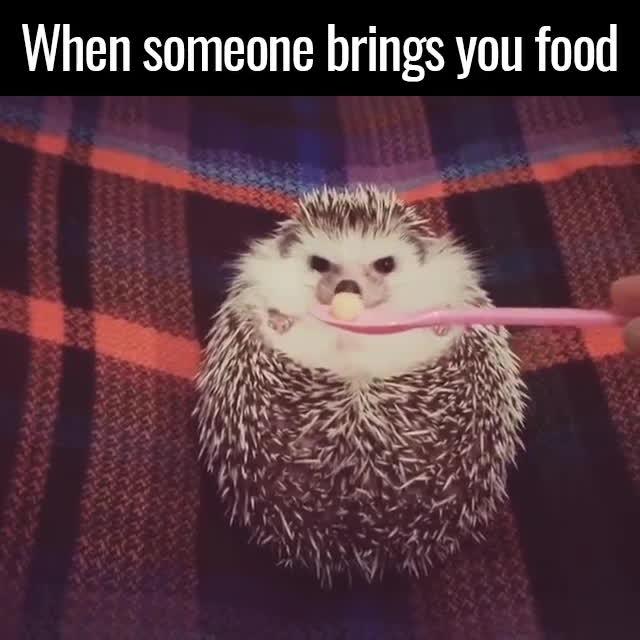 hedgehog GIFs