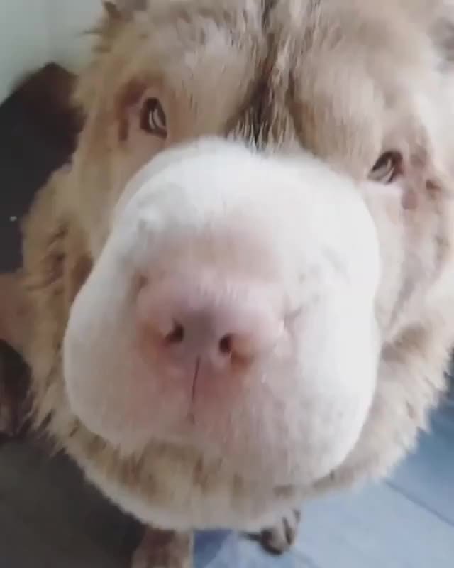 Watch and share Boop The Snoot GIFs on Gfycat
